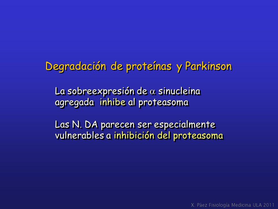 La sobreexpresión de sinucleina agregada inhibe al proteasoma Las N. DA parecen ser especialmente vulnerables a inhibición del proteasoma La sobreexpr