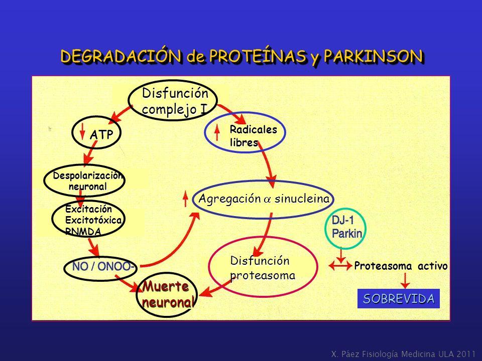 X. Páez Fisiología Medicina ULA 2011 DEGRADACIÓN de PROTEÍNAS y PARKINSON Disfunción complejo I Radicaleslibres ATP Despolarizaciónneuronal Excitación
