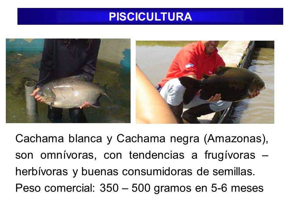 PISCICULTURA Cachama blanca y Cachama negra (Amazonas), son omnívoras, con tendencias a frugívoras – herbívoras y buenas consumidoras de semillas. Pes
