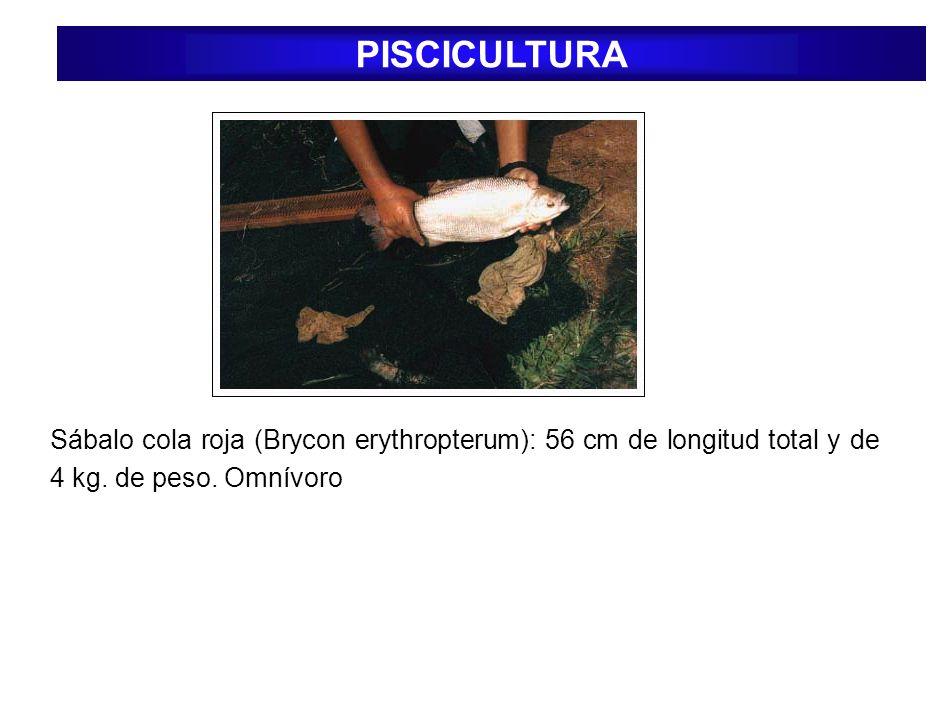 Sábalo cola roja (Brycon erythropterum): 56 cm de longitud total y de 4 kg. de peso. Omnívoro