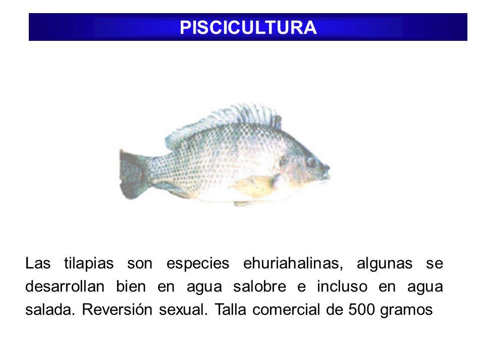 PISCICULTURA Las tilapias son especies ehuriahalinas, algunas se desarrollan bien en agua salobre e incluso en agua salada. Reversión sexual. Talla co
