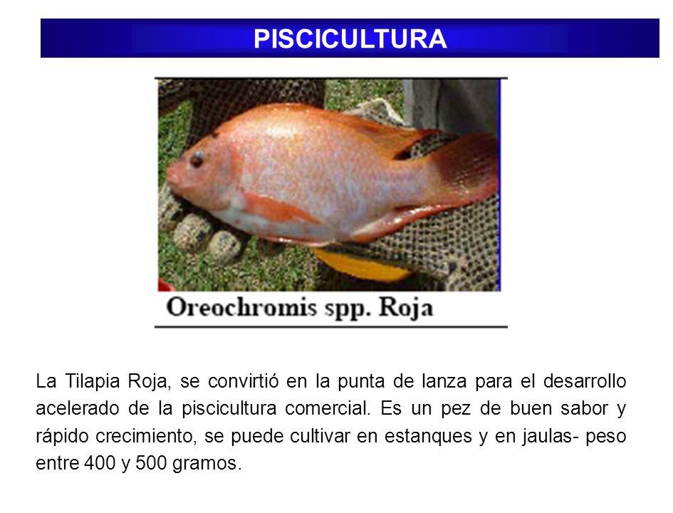 PISCICULTURA La Tilapia Roja, se convirtió en la punta de lanza para el desarrollo acelerado de la piscicultura comercial. Es un pez de buen sabor y r