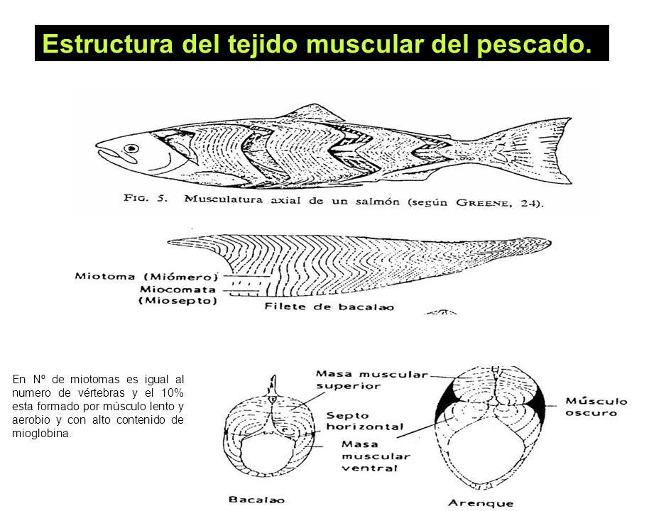 27 Estructura del tejido muscular del pescado. En Nº de miotomas es igual al numero de vértebras y el 10% esta formado por músculo lento y aerobio y c