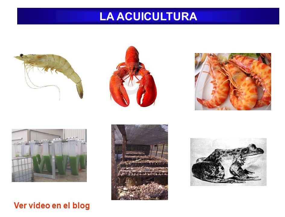Acuicultura Súper intensiva: Se requiere un recambio de agua permanente sobre las jaulas sembradas.