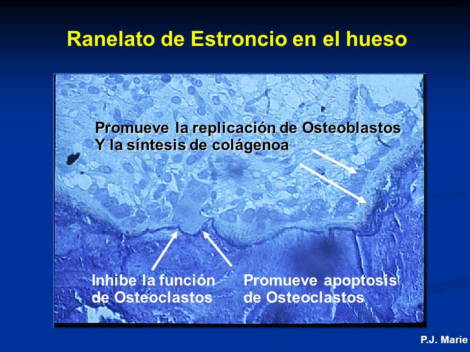 Ranelato de Estroncio en el hueso Inhibe la función de Osteoclastos Promueve la replicación de Osteoblastos Y la síntesis de colágenoa Promueve apoptosis de Osteoclastos P.J.