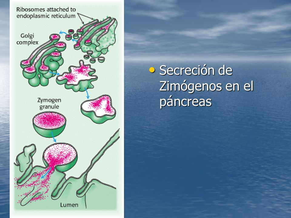Secreción de Zimógenos en el páncreas Secreción de Zimógenos en el páncreas