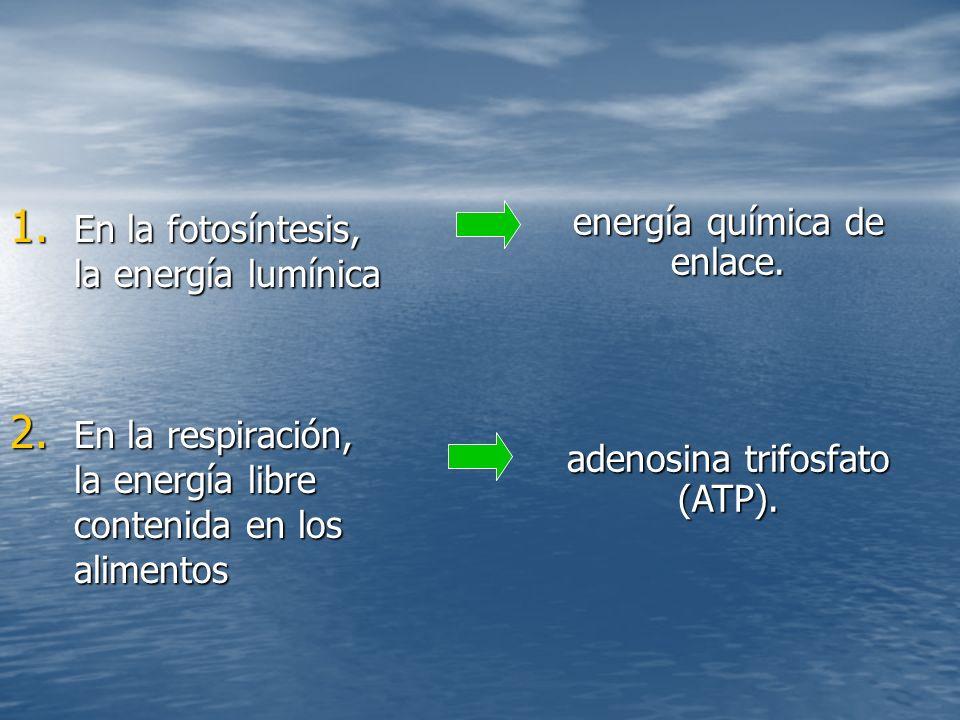 1.En la fotosíntesis, la energía lumínica 2.