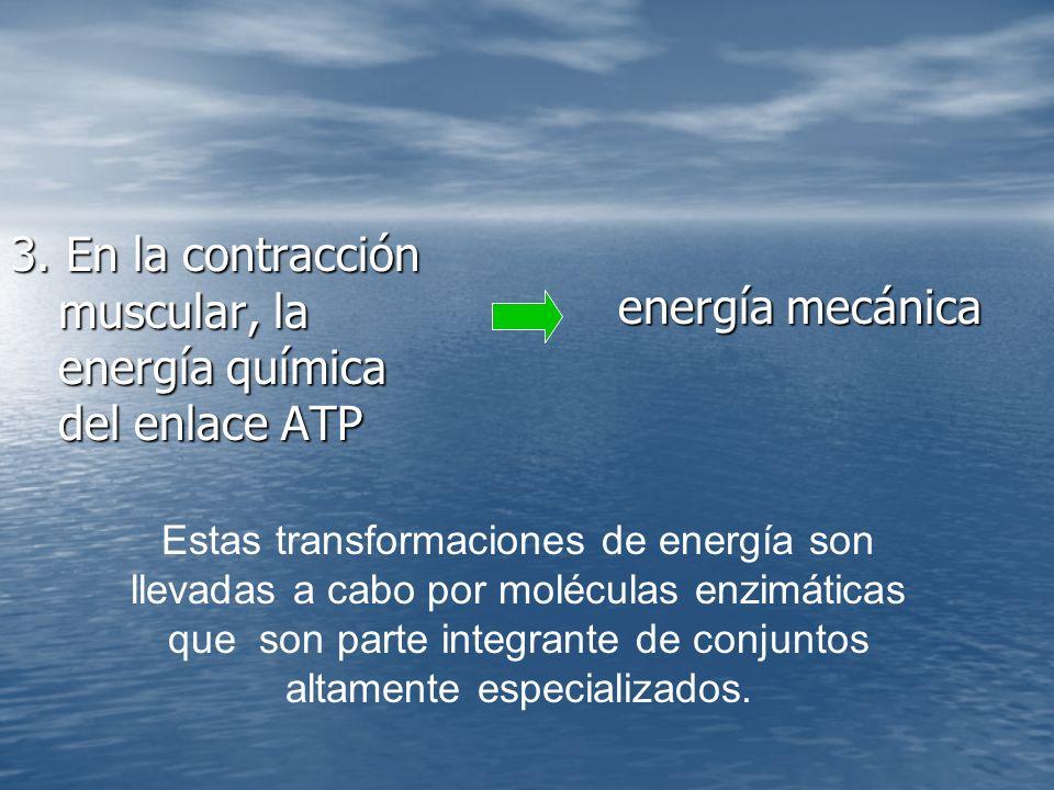 3. En la contracción muscular, la energía química del enlace ATP energía mecánica Estas transformaciones de energía son llevadas a cabo por moléculas