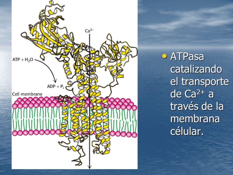 ATPasa catalizando el transporte de Ca 2+ a través de la membrana célular.