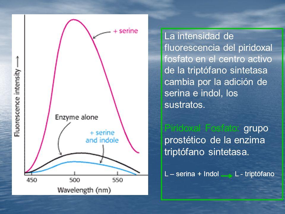 La intensidad de fluorescencia del piridoxal fosfato en el centro activo de la triptófano sintetasa cambia por la adición de serina e indol, los sustratos.