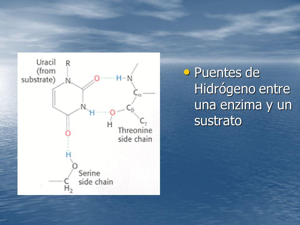 Puentes de Hidrógeno entre una enzima y un sustrato Puentes de Hidrógeno entre una enzima y un sustrato
