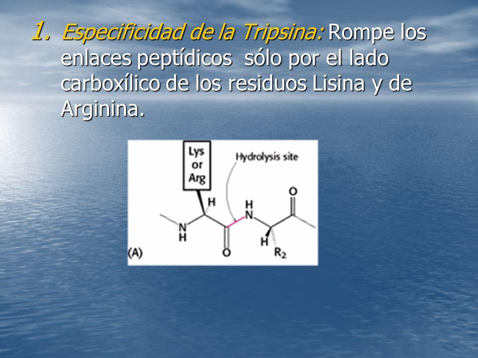 1. Especificidad de la Tripsina: Rompe los enlaces peptídicos sólo por el lado carboxílico de los residuos Lisina y de Arginina.