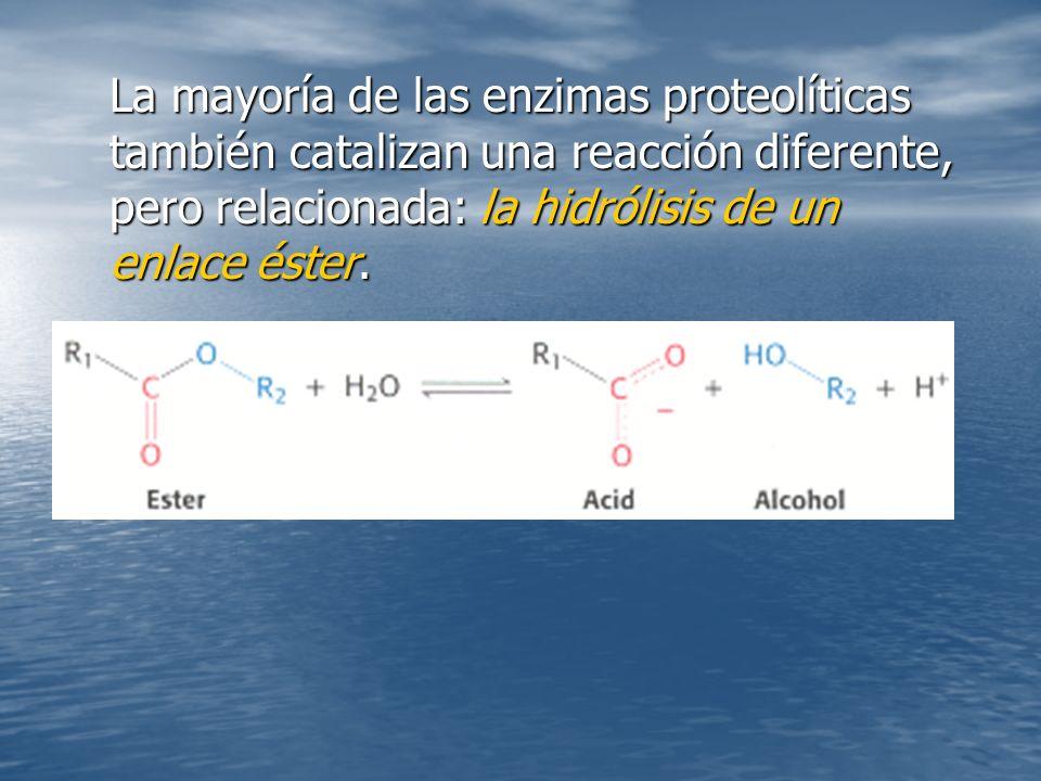 La mayoría de las enzimas proteolíticas también catalizan una reacción diferente, pero relacionada: la hidrólisis de un enlace éster.