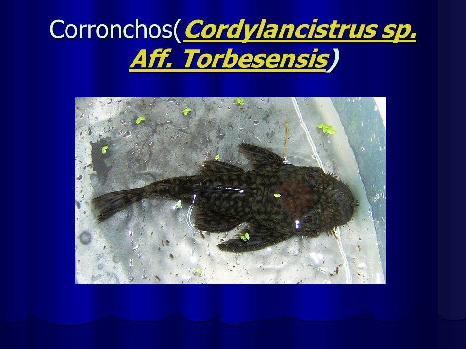 Corronchos(Cordylancistrus sp. Aff. Torbesensis) Cordylancistrus sp. Aff. TorbesensisCordylancistrus sp. Aff. Torbesensis