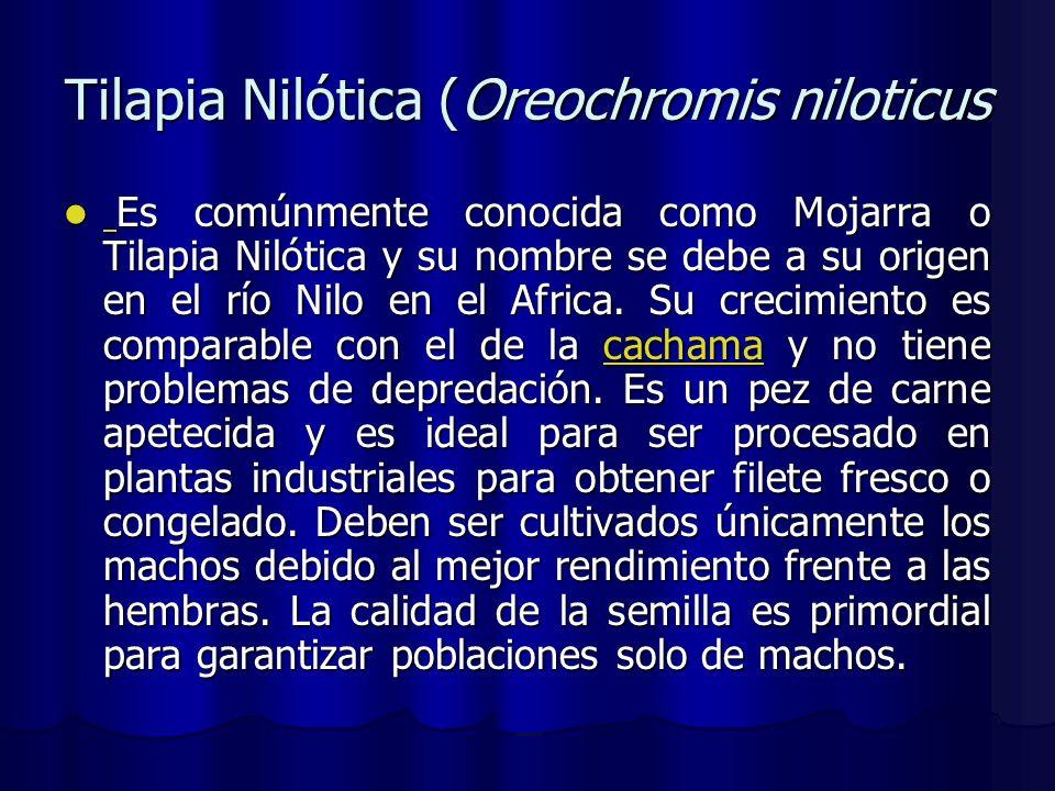 Tilapia Nilótica (Oreochromis niloticus Es comúnmente conocida como Mojarra o Tilapia Nilótica y su nombre se debe a su origen en el río Nilo en el Af