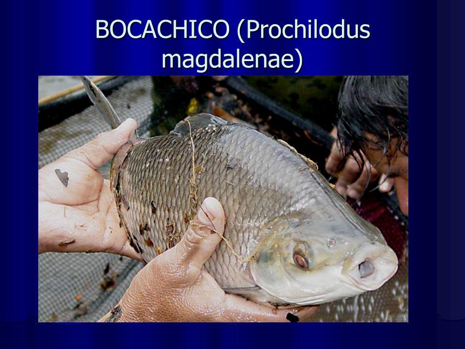 BOCACHICO (Prochilodus magdalenae)