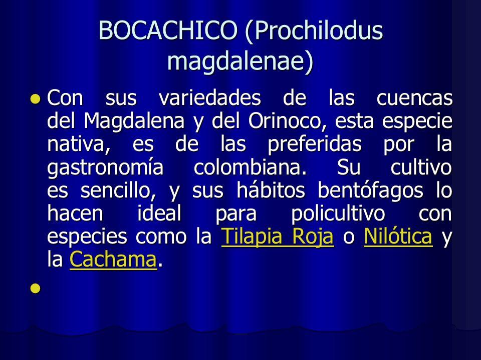 Con sus variedades de las cuencas del Magdalena y del Orinoco, esta especie nativa, es de las preferidas por la gastronomía colombiana. Su cultivo es