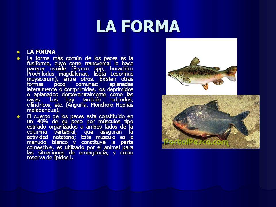 LA FORMA LA FORMA LA FORMA La forma más común de los peces es la fusiforme, cuyo corte transversal lo hace parecer ovoide (Brycon spp, bocachico Proch