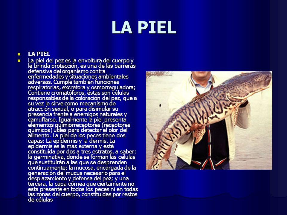 LA PIEL LA PIEL LA PIEL La piel del pez es la envoltura del cuerpo y le brinda protección, es una de las barreras defensiva del organismo contra enfer