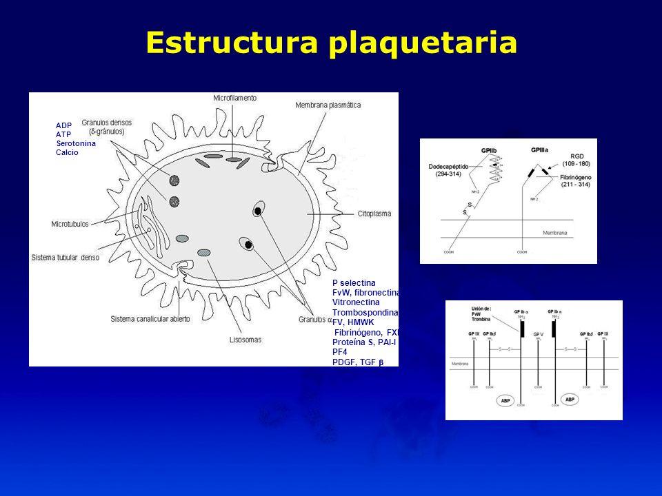 P selectina FvW, fibronectina Vitronectina Trombospondina FV, HMWK Fibrinógeno, FXI Proteína S, PAI-I PF4 PDGF, TGF ADP ATP Serotonina Calcio Estructu