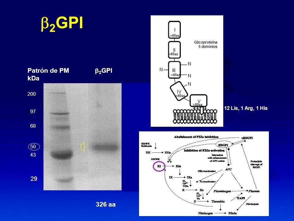 Patrón de PM 2 GPI kDa 200 97 68 50 43 29 60aa 80aa 2 GPI 12 Lis, 1 Arg, 1 His 326 aa Glicoproteína 5 dominios