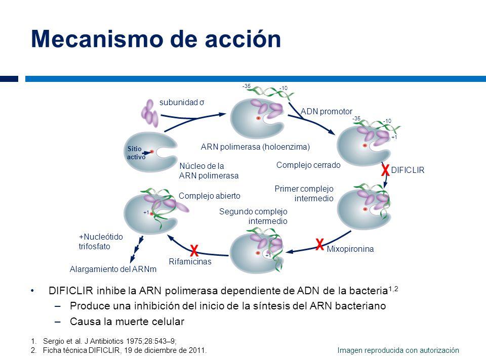Mecanismo de acción DIFICLIR inhibe la ARN polimerasa dependiente de ADN de la bacteria 1,2 –Produce una inhibición del inicio de la síntesis del ARN