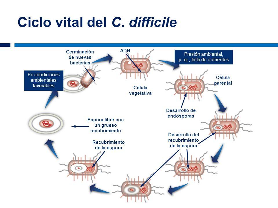 Ciclo vital del C. difficile ADN Germinación de nuevas bacterias Espora libre con un grueso recubrimiento Recubrimiento de la espora Desarrollo de end