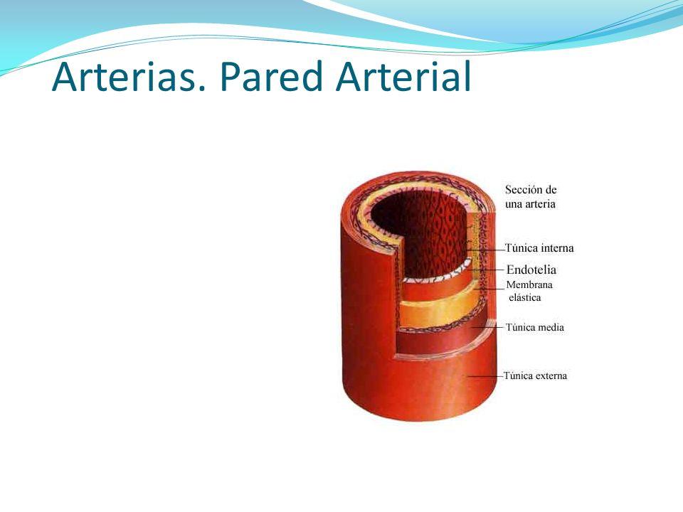 Arterias. Pared Arterial