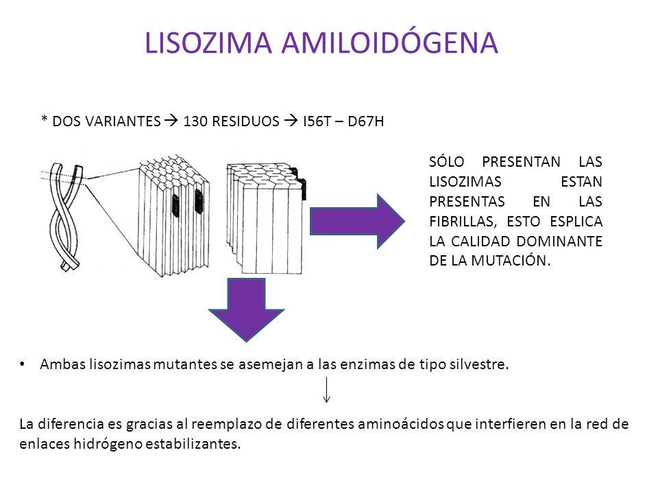 LISOZIMA AMILOIDÓGENA * DOS VARIANTES 130 RESIDUOS I56T – D67H SÓLO PRESENTAN LAS LISOZIMAS ESTAN PRESENTAS EN LAS FIBRILLAS, ESTO ESPLICA LA CALIDAD