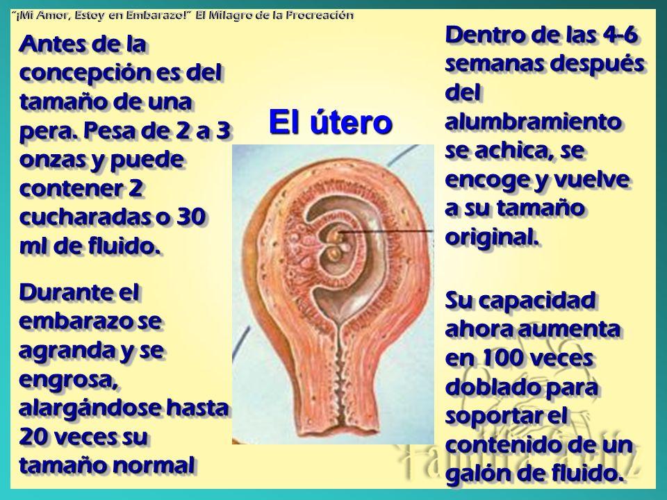 Antes de la concepción es del tamaño de una pera. Pesa de 2 a 3 onzas y puede contener 2 cucharadas o 30 ml de fluido. Durante el embarazo se agranda