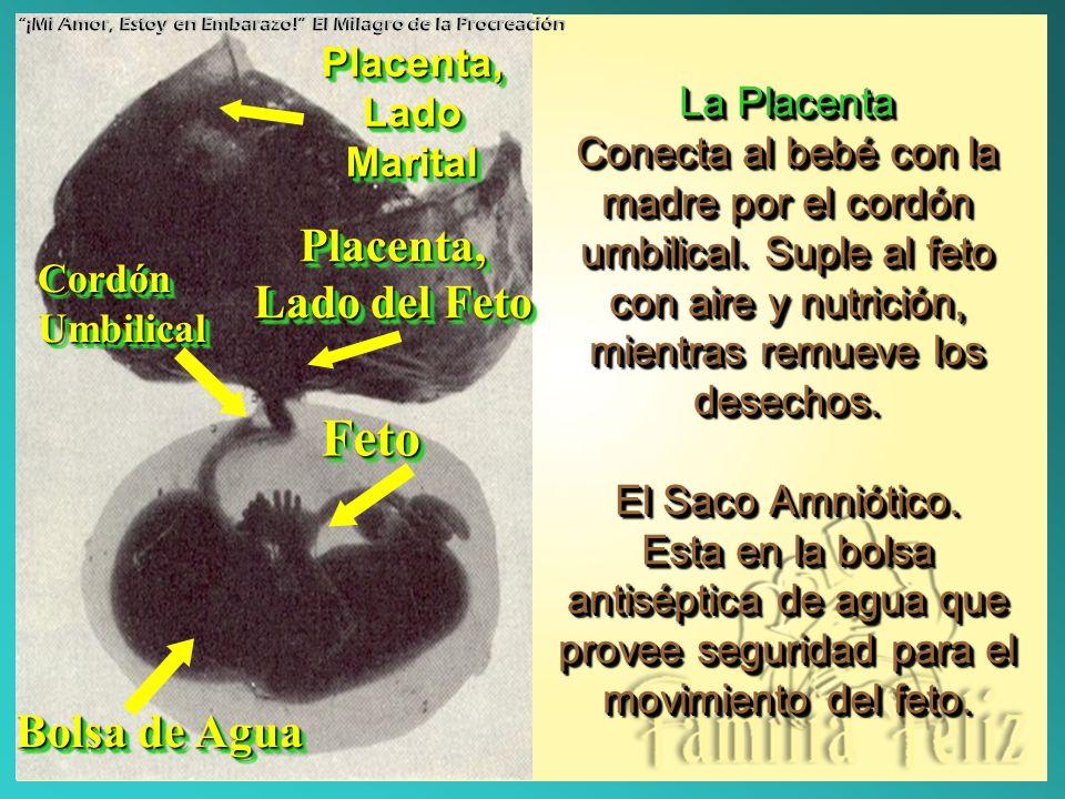 La Placenta Conecta al bebé con la madre por el cordón umbilical. Suple al feto con aire y nutrición, mientras remueve los desechos. El Saco Amniótico