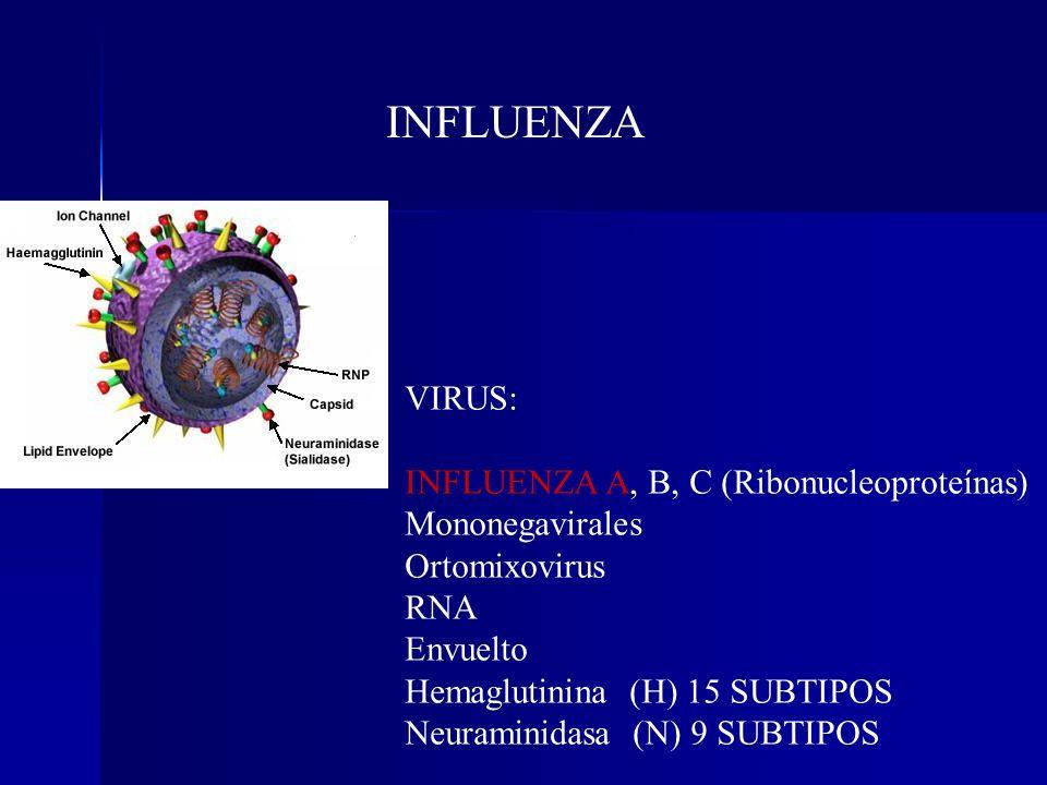 VIRUS: INFLUENZA A, B, C (Ribonucleoproteínas) Mononegavirales Ortomixovirus RNA Envuelto Hemaglutinina (H) 15 SUBTIPOS Neuraminidasa (N) 9 SUBTIPOS I