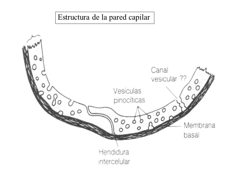 Estructura de la pared capilar