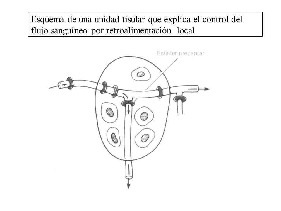 Esquema de una unidad tisular que explica el control del flujo sanguíneo por retroalimentación local