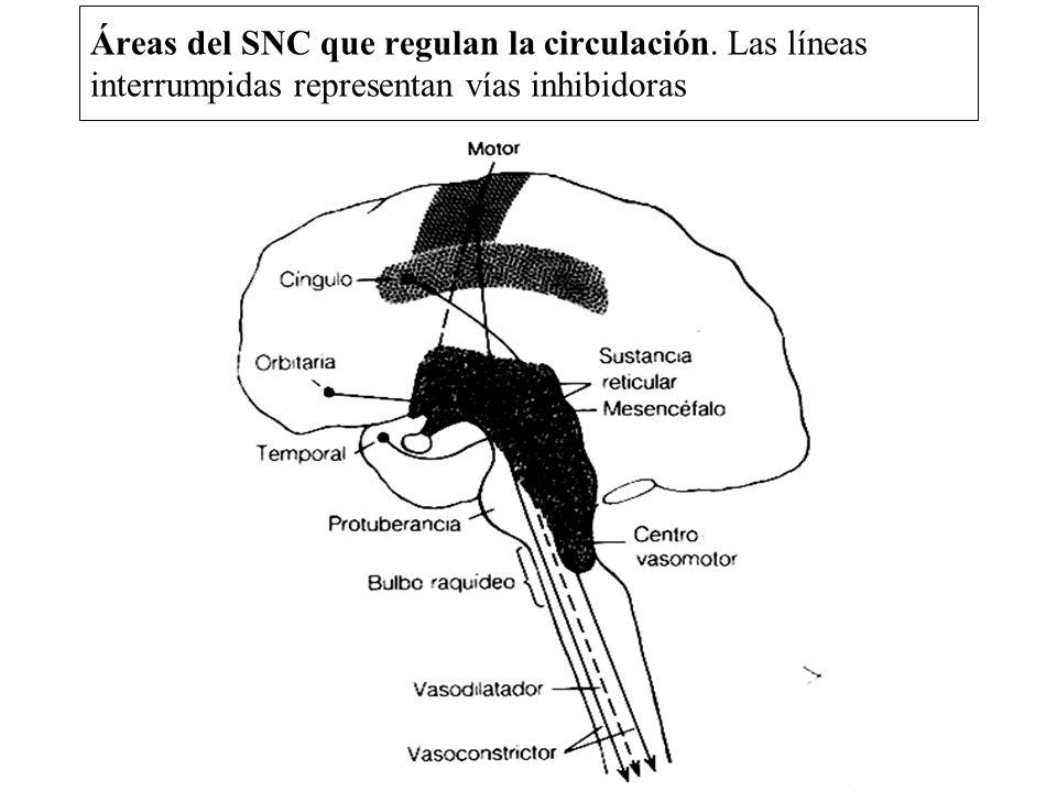 Áreas del SNC que regulan la circulación. Las líneas interrumpidas representan vías inhibidoras