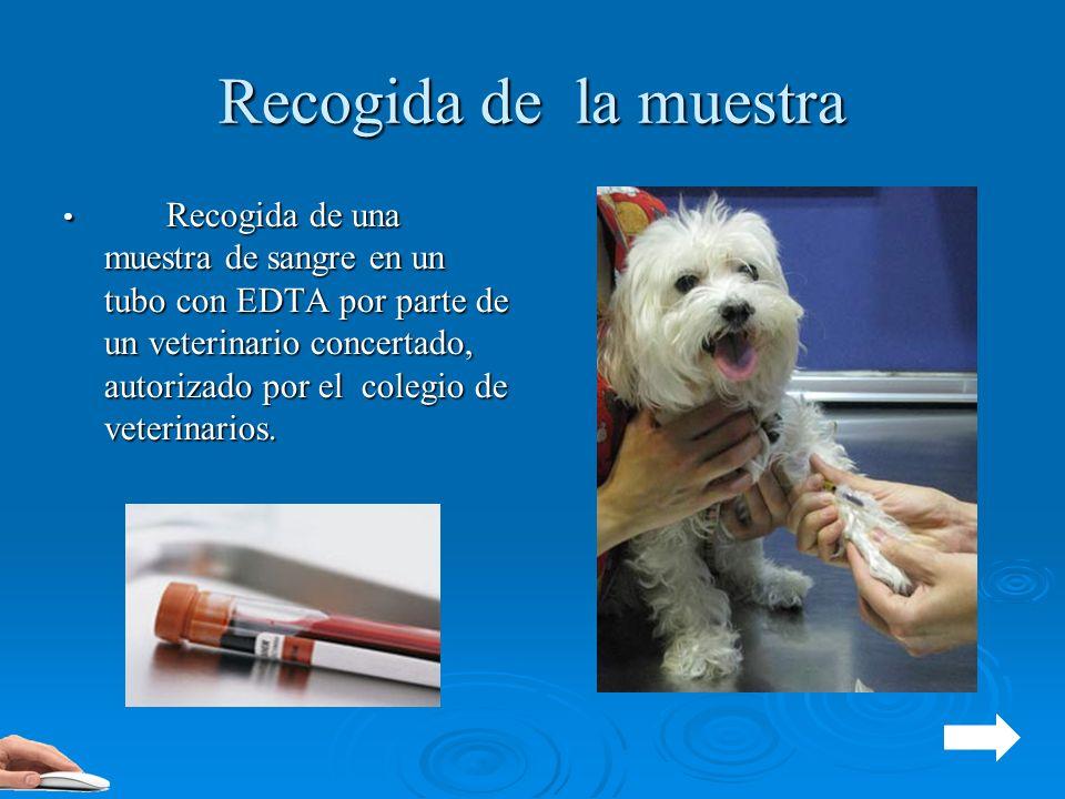 Recogida de la muestra Recogida de una muestra de sangre en un tubo con EDTA por parte de un veterinario concertado, autorizado por el colegio de vete
