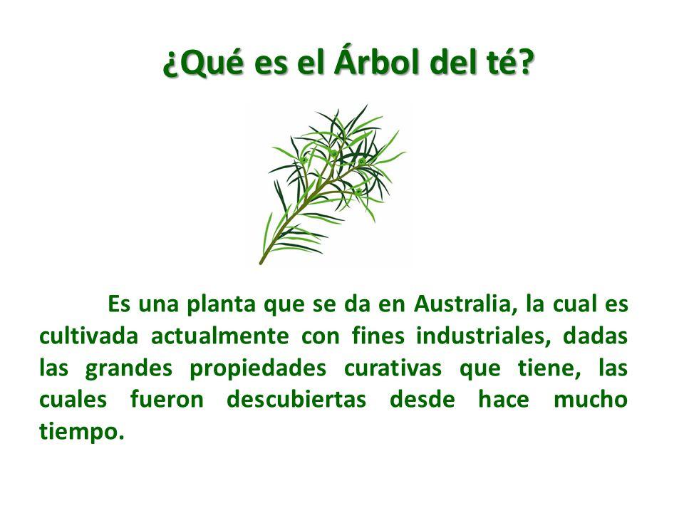 Es una planta que se da en Australia, la cual es cultivada actualmente con fines industriales, dadas las grandes propiedades curativas que tiene, las