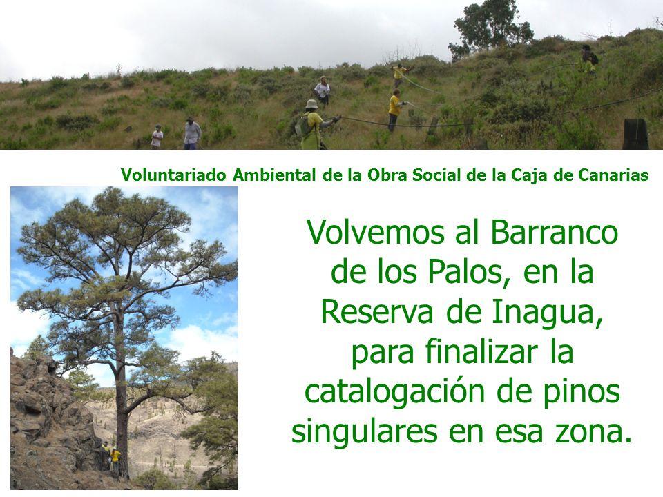 Voluntariado Ambiental de la Obra Social de la Caja de Canarias Volvemos al Barranco de los Palos, en la Reserva de Inagua, para finalizar la catalogación de pinos singulares en esa zona.
