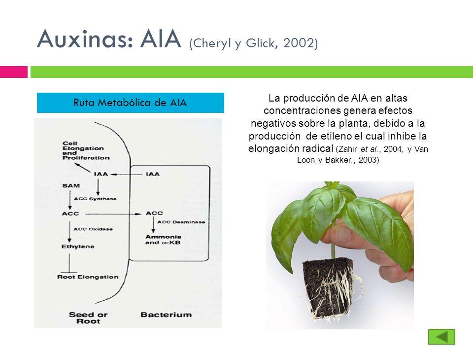 Auxinas: AIA (Cheryl y Glick, 2002) Ruta Metabólica de AIA La producción de AIA en altas concentraciones genera efectos negativos sobre la planta, deb