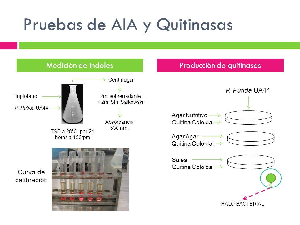 Pruebas de AIA y Quitinasas TSB a 28°C por 24 horas a 150rpm Medición de IndolesProducción de quitinasas Triptofano P. Putida UA44 2ml sobrenadante +