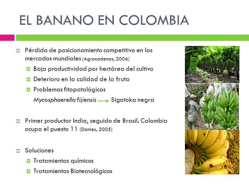 EL BANANO EN COLOMBIA Pérdida de posicionamiento competitivo en los mercados mundiales (Agrocadenas, 2006) Baja productividad por hectárea del cultivo