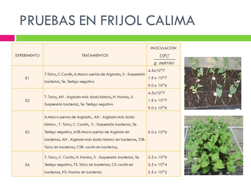 PRUEBAS EN FRIJOL CALIMA EXPERIMENTOTRATAMIENTOS INOCULACION E1 T:Talco, C:Caolín, A:Macro-perlas de Alginato, S : Suspensión bacterial, Te: Testigo n