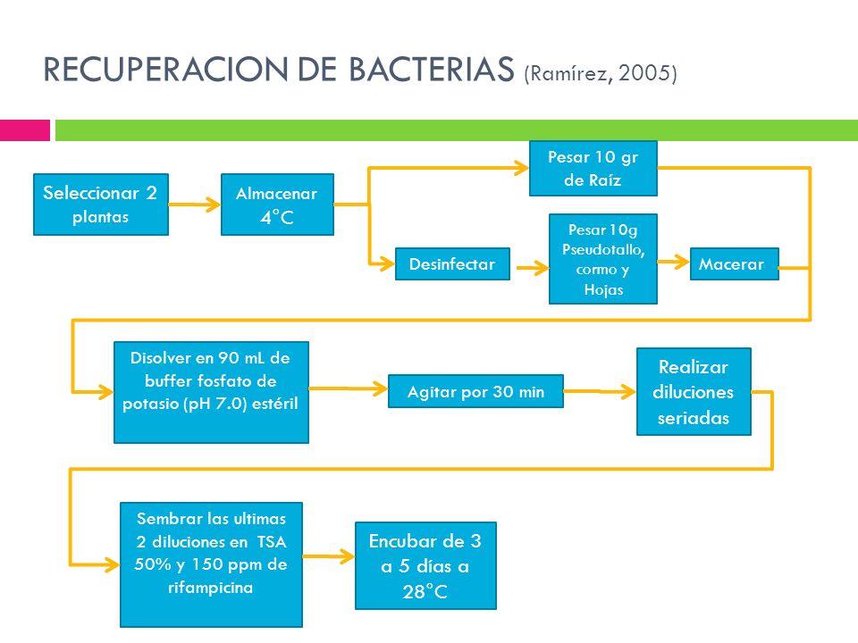 RECUPERACION DE BACTERIAS (Ramírez, 2005) Seleccionar 2 plantas Almacenar 4°C Pesar 10g Pseudotallo, cormo y Hojas Agitar por 30 min Realizar dilucion
