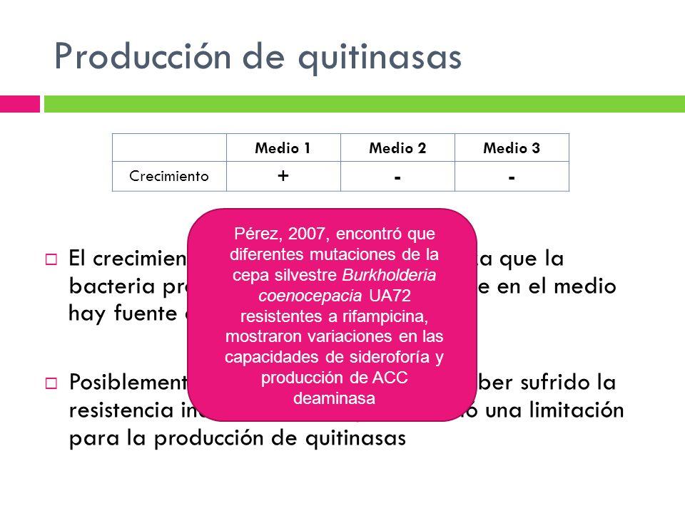 Producción de quitinasas El crecimiento en el medio 1 no garantiza que la bacteria produzca quitinasas, puesto que en el medio hay fuente de carbono P