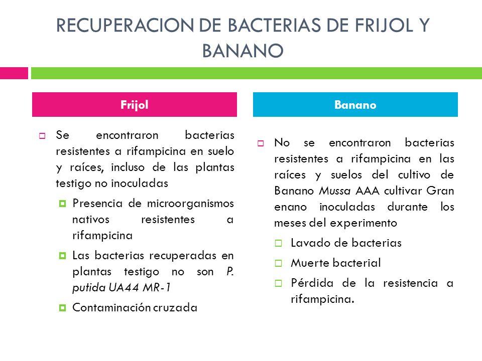 RECUPERACION DE BACTERIAS DE FRIJOL Y BANANO Se encontraron bacterias resistentes a rifampicina en suelo y raíces, incluso de las plantas testigo no i