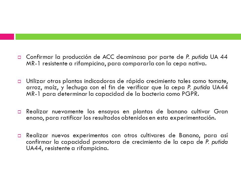 Confirmar la producción de ACC deaminasa por parte de P. putida UA 44 MR-1 resistente a rifampicina, para compararla con la cepa nativa. Utilizar otra