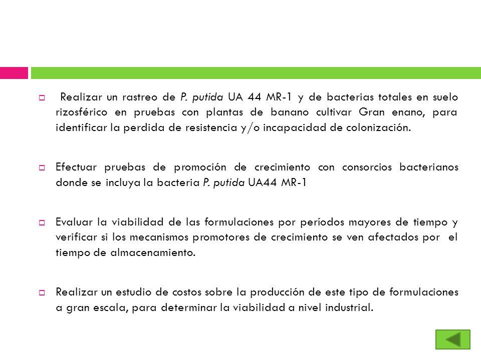 Realizar un rastreo de P. putida UA 44 MR-1 y de bacterias totales en suelo rizosférico en pruebas con plantas de banano cultivar Gran enano, para ide