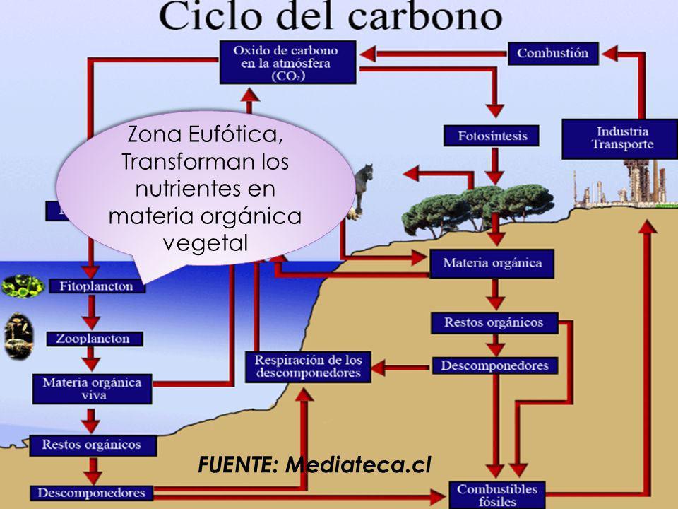 FUENTE: Mediateca.cl Zona Eufótica, Transforman los nutrientes en materia orgánica vegetal Zona Eufótica, Transforman los nutrientes en materia orgáni