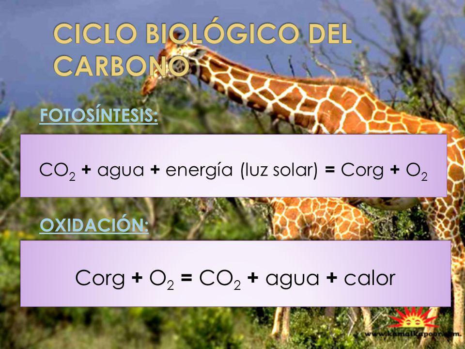 CO 2 + agua + energía (luz solar) = Corg + O 2 FOTOSÍNTESIS: OXIDACIÓN: Corg + O 2 = CO 2 + agua + calor