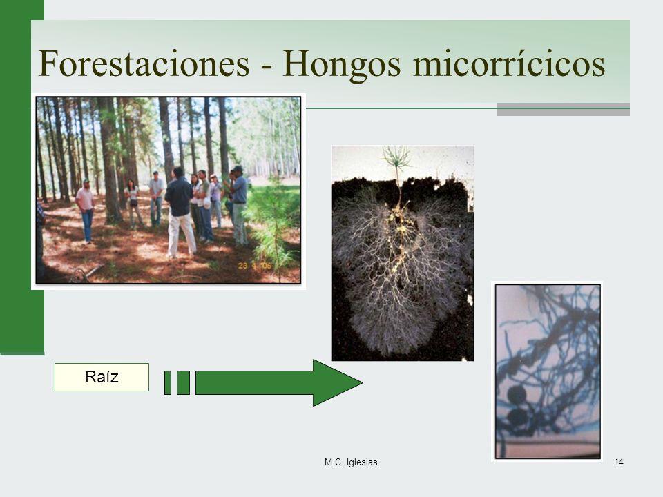 Forestaciones - Hongos micorrícicos M.C. Iglesias14 Raíz